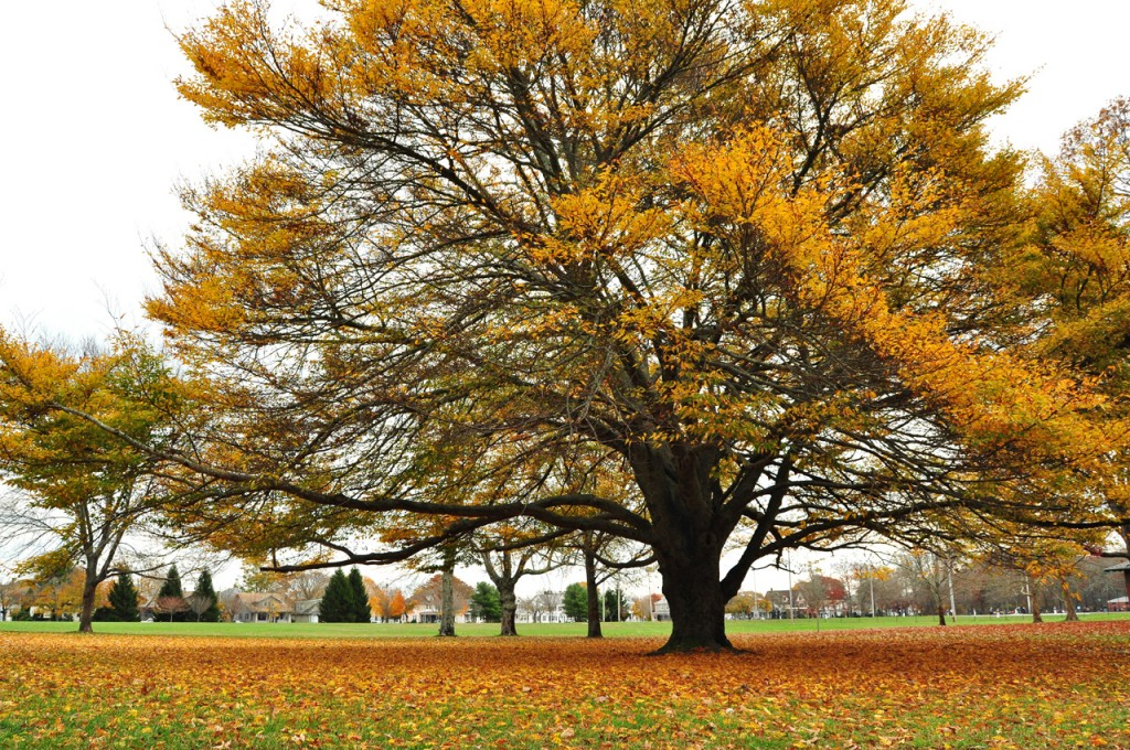 beech tree in autumn colors at Buttonwood Park