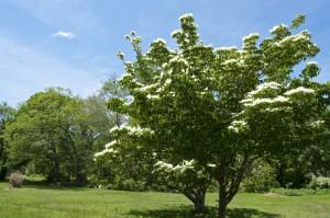 flowering dogwood tree at Buttonwood Park